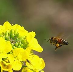 ミツバチハッチの旅