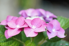 紫陽花の季節 その2