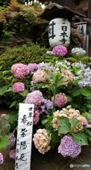 本山 日本寺の紫陽花  3