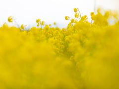 菜の花畑。。。