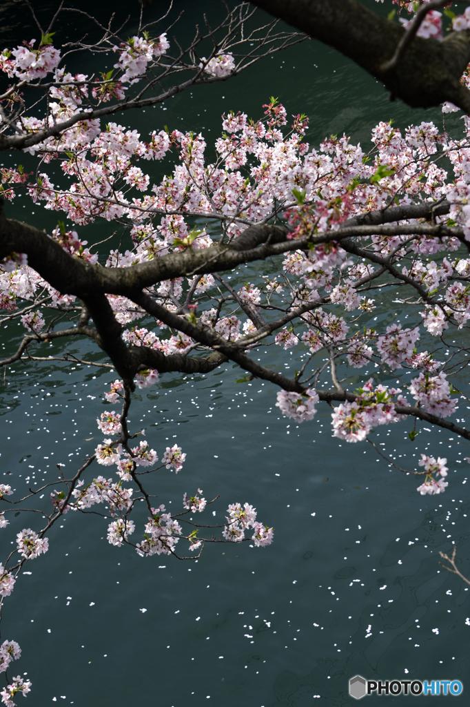 大岡川の残桜---④