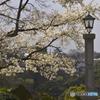 コブシの咲く公園
