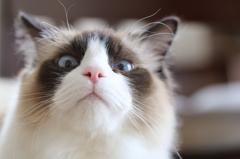 白猫ソラチャン