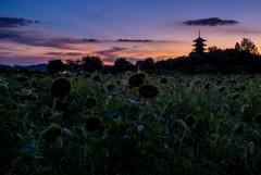 ブラック向日葵