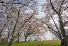 空と桜と芝生と