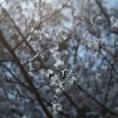 velvet of sakura