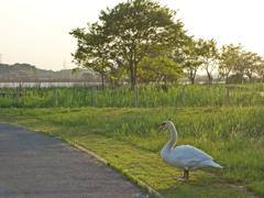 5月の白鳥