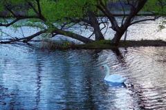夕暮れと白鳥
