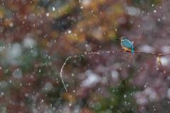 雪+紅葉+カワセミ♪