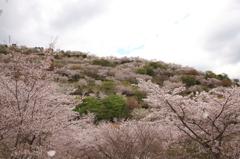 花立の桜2