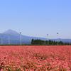 咲いたよ~赤蕎麦の花