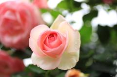 雨にも灰にも負けず~薔薇の輝き
