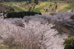 花立の桜1