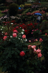 雨にも灰にも負けず~凜とした薔薇