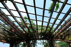 錦江湾公園 薔薇