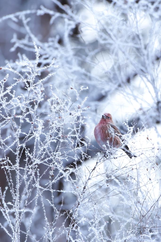 凍てつく朝にオオマシコ♀