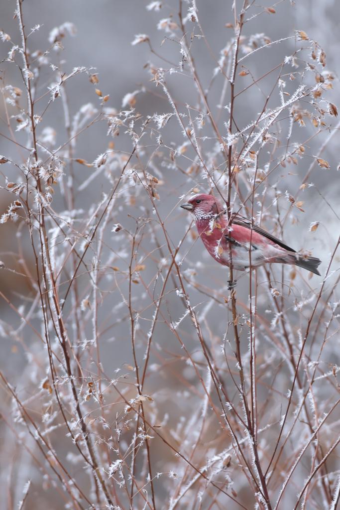 凍てつく朝にオオマシコ♂