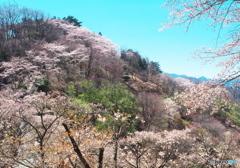 桜輝いてかがやいて