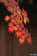 鎌倉Now5紅ひとえだ(長勝寺)
