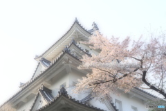 大垣城と桜と