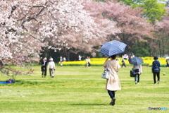 お花見は日傘をさして