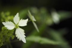 注目(屋久島コンテリギ:山紫陽花と空木交配種)