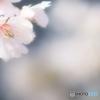 玉縄桜花姿