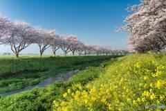 盛りの桜もやがていつかは