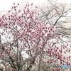 モクレンと桜