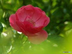 forestのバラたち ①
