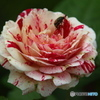 forestのバラたち  ④