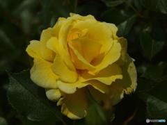 forestのバラたち  ②
