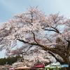 水沢観音桜
