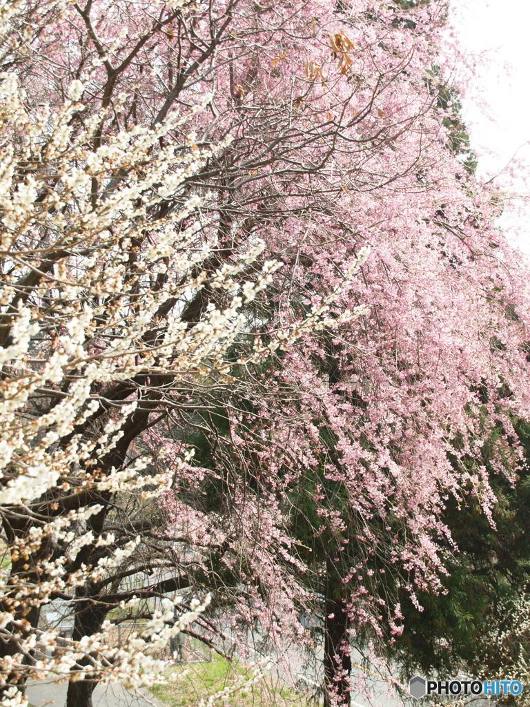 梅と枝垂れ桜