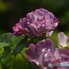 forestのバラたち  ③