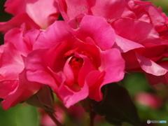 forestのバラたち  ⑤