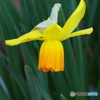 黄ラッパ水仙