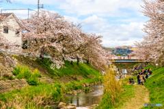 佐保川桜散策