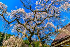 西光寺の城之山桜