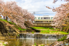 大和路線と桜