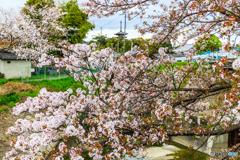 薬師寺と桜たちⅥ
