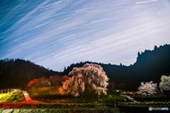 明雲の又兵衛桜