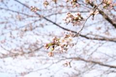 津久井湖の桜 2分咲き