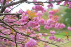 モコモコの桜
