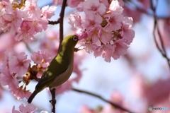 メジロ 口が桜の花になっちゃった。。
