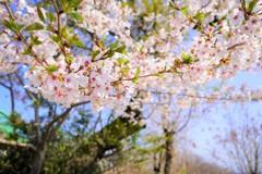 桜まだまだあるよ~ イン 高尾山