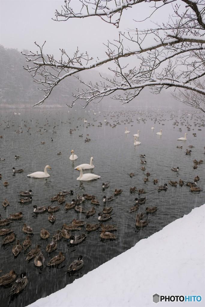 吹雪の白鳥