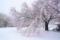 春なのか冬なのか桜なのか??