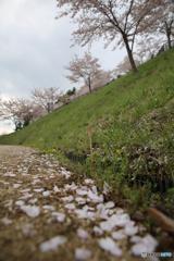 新倉山浅間公園 サクラ