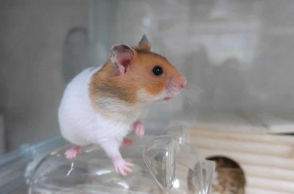 ネズミ王になる